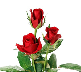 Indian Roses