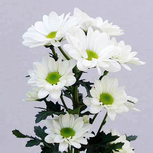cpray-white