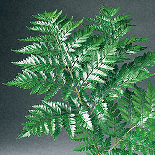 leather_fern